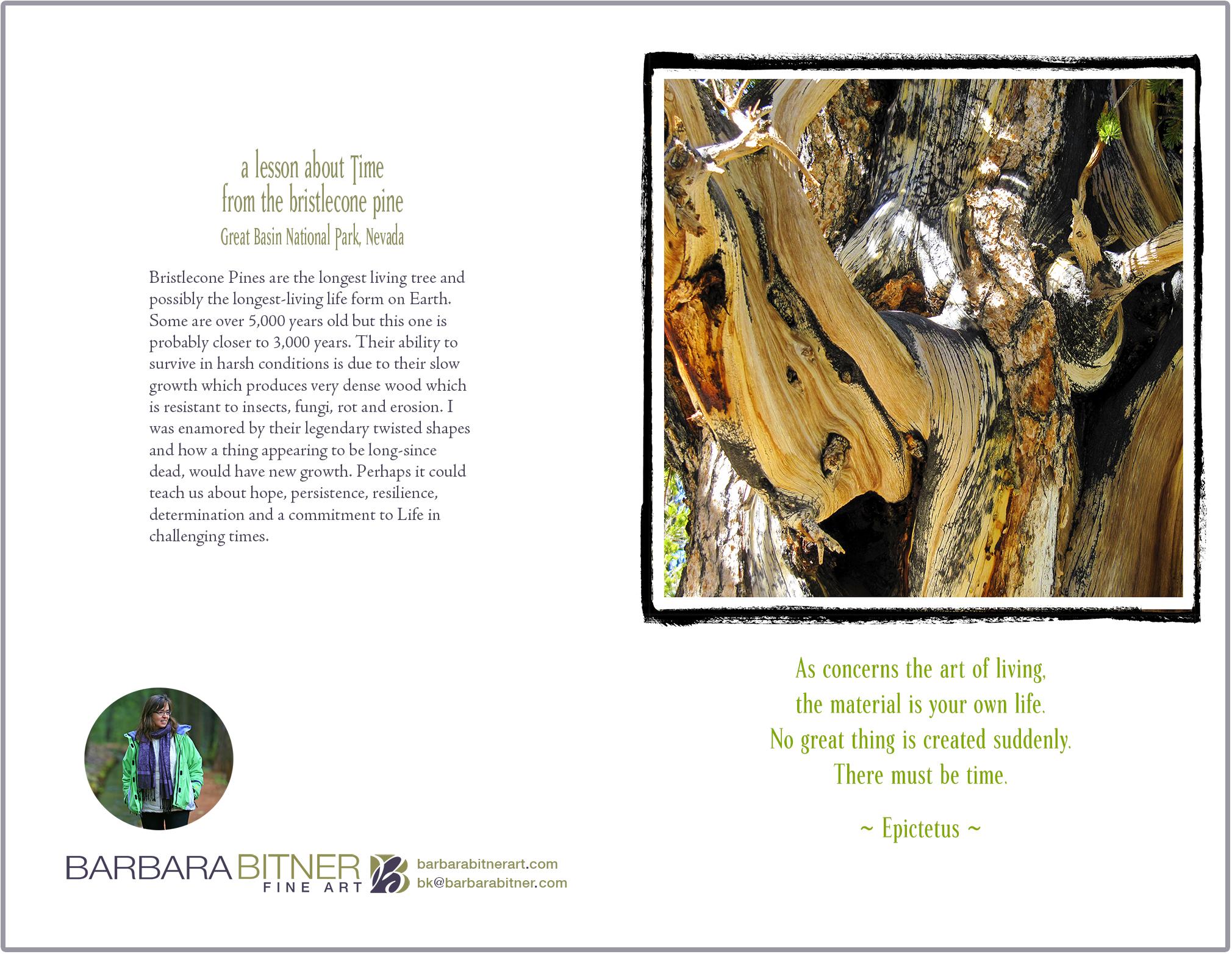 Bristlecone Pine greeting cards